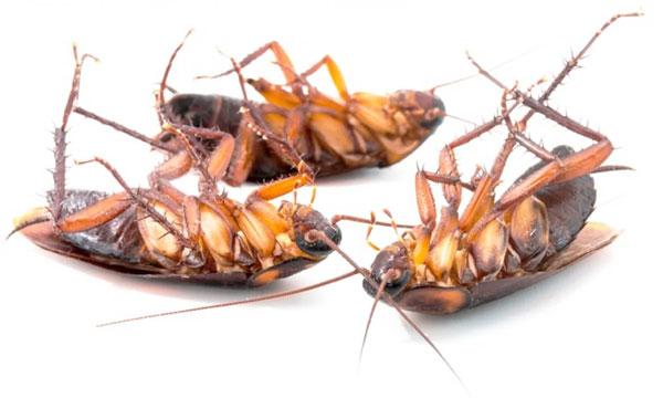 К чему снятся тараканы? Живые, рыжие, чёрные и большие тараканы во сне