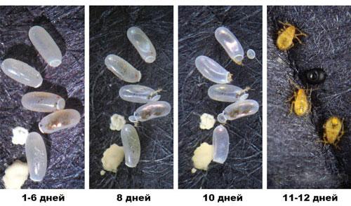 Развитие яиц постельных клопов