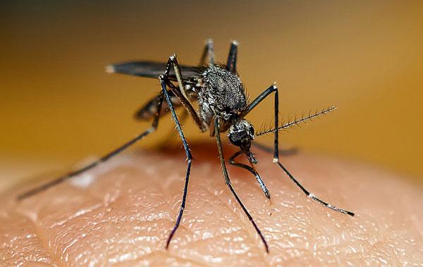 Опасен ли укус комара