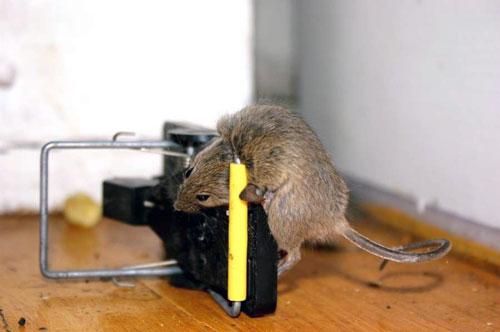 mysh v myshelovke - Как узнать есть ли в холодильнике мышь